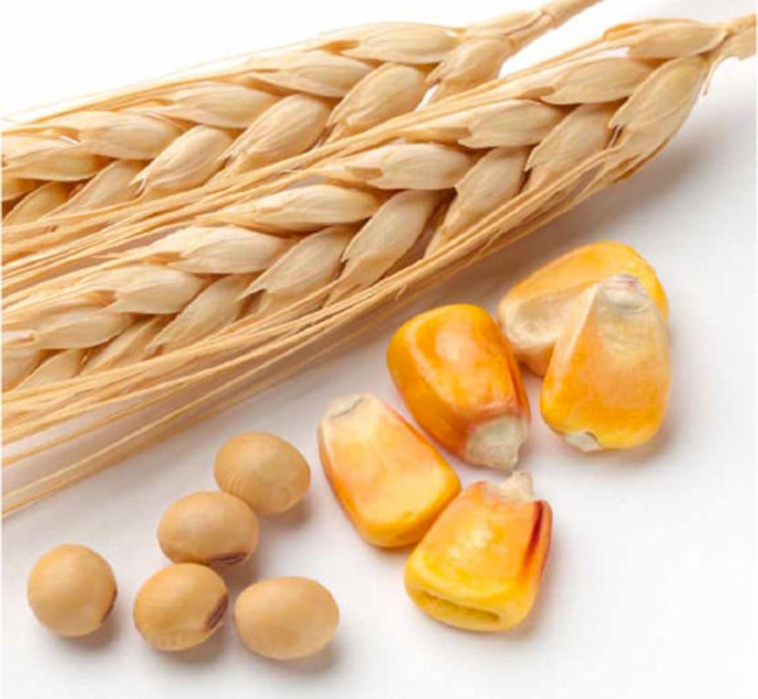 Aliment blé, maïs